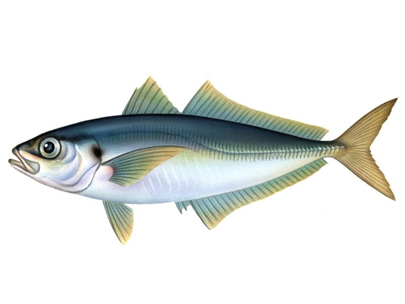アジ,アジング,イカ,エギング ... : 魚釣り 絵 : すべての講義